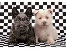 Terrier kutyusok, 500 darabos Educa puzzle